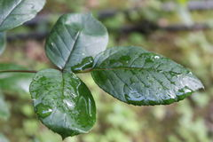 Bladeren na rainLeaves na regen Royalty-vrije Stock Afbeeldingen