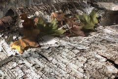 Bladeren op berk bark_3 Royalty-vrije Stock Fotografie