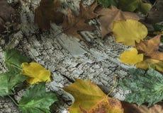 Bladeren op berkeschors Royalty-vrije Stock Afbeelding