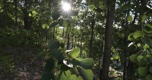 Bladeren op de boom die in de wind in de zon slingeren stock videobeelden