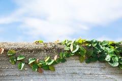 Bladeren op de muur Stock Foto's