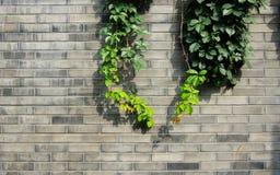 Bladeren op de muur Stock Foto
