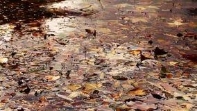 Bladeren op meerwater stock video