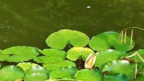 Bladeren op meerwater stock footage