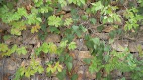 Bladeren op steenmuur Bladeren die over een steenmuur groeien die geschotene aardscène vestigen Achtergrond van bladeren op een s stock footage