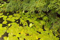 Bladeren op Vijver Royalty-vrije Stock Foto