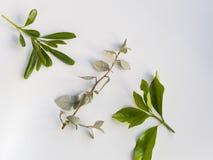 Bladeren op witte achtergrond Stock Afbeelding