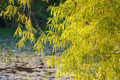 Bladeren over een vijver worden gedrapeerd die Royalty-vrije Stock Fotografie