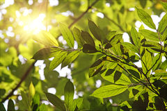Bladeren tegen de ochtendzon Royalty-vrije Stock Afbeeldingen
