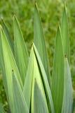 Bladeren van agave Stock Afbeelding