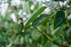 Bladeren van appel Stock Foto's