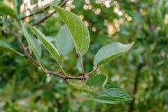 Bladeren van appel Stock Foto