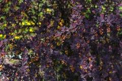 Bladeren van berberisclose-up Royalty-vrije Stock Foto's
