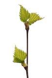 Bladeren van berk Stock Foto