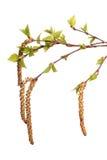 Bladeren van berk Stock Afbeeldingen