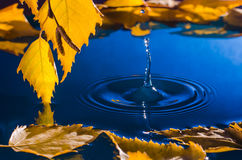 Bladeren van berk over het water met rimpelingen van de regendruppels Stock Afbeeldingen
