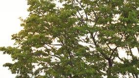 Bladeren van boom met windslag bij zonsondergang stock video
