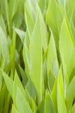 Bladeren van cannalelie Royalty-vrije Stock Afbeelding
