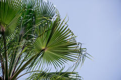 Bladeren van datum-boom Stock Fotografie