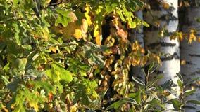 Bladeren van de de herfst de eiken boom die met ijs en de zwarte witte boomstam van de berkboom worden behandeld 4K stock video