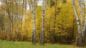 Bladeren van de de herfst de gele berk stock videobeelden