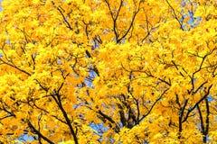 Bladeren van de de herfst de gele esdoorn Stock Foto's