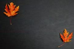 Bladeren van de de herfst de kleurrijke gevallen esdoorn op donkere grijze achtergrond Royalty-vrije Stock Fotografie