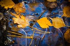 Bladeren van de de herfst de bos gele berk onder jonge fonkelende ijsbovenkant Royalty-vrije Stock Afbeeldingen