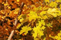 Bladeren van de de herfst de gele esdoorn stock afbeelding