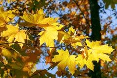 Bladeren van de de herfst de gele esdoorn royalty-vrije stock fotografie