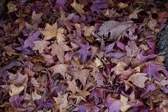 Bladeren van de de herfst de Japanse suikerahorn Royalty-vrije Stock Foto's
