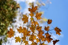 Bladeren van de de herfst de rode, gouden en gele esdoorn tegen vage blauwe hemelachtergrond Royalty-vrije Stock Afbeelding
