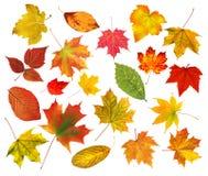 Bladeren van de inzamelings de mooie kleurrijke die herfst op wit worden geïsoleerd Stock Afbeeldingen