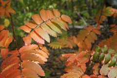 Bladeren van de lijsterbes in het licht van de ochtendzon in het bos royalty-vrije stock afbeelding