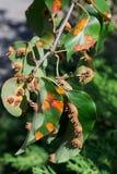 Bladeren van de plantenziekte Royalty-vrije Stock Afbeelding