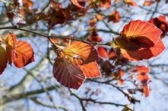 Bladeren van de purpurea de donkerrode vroege lente van Fagussilvatika Royalty-vrije Stock Afbeeldingen