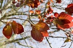 Bladeren van de purpurea de donkerrode vroege lente van Fagussilvatika Royalty-vrije Stock Afbeelding