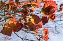 Bladeren van de purpurea de donkerrode vroege lente van Fagussilvatika Royalty-vrije Stock Fotografie