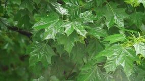 Bladeren van de regen de dalende esdoorn stock footage