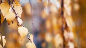 Bladeren van de wijngaard aan het eind van het seizoen stock video