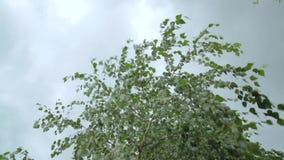 Bladeren van de wind de blazende berk in bewolkt weer Sluit omhoog stock videobeelden