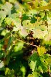 Bladeren van druiven, door ziekte worden beïnvloed die royalty-vrije stock fotografie