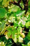 Bladeren van druiven, door ziekte worden beïnvloed die royalty-vrije stock afbeelding
