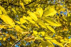Bladeren van een boom Stock Afbeelding