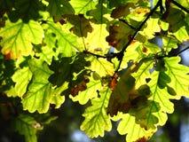 Bladeren van een eiken boom Stock Foto