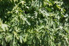Bladeren van een groene vijgeboom Royalty-vrije Stock Foto