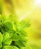 Bladeren van een hydrangea hortensia Royalty-vrije Stock Afbeelding