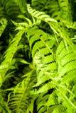 Bladeren van een jonge varen stock foto