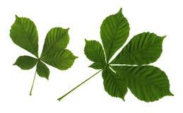 Bladeren van een kastanje Stock Afbeeldingen