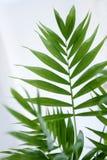 Bladeren van een palm-type installatie Stock Foto's